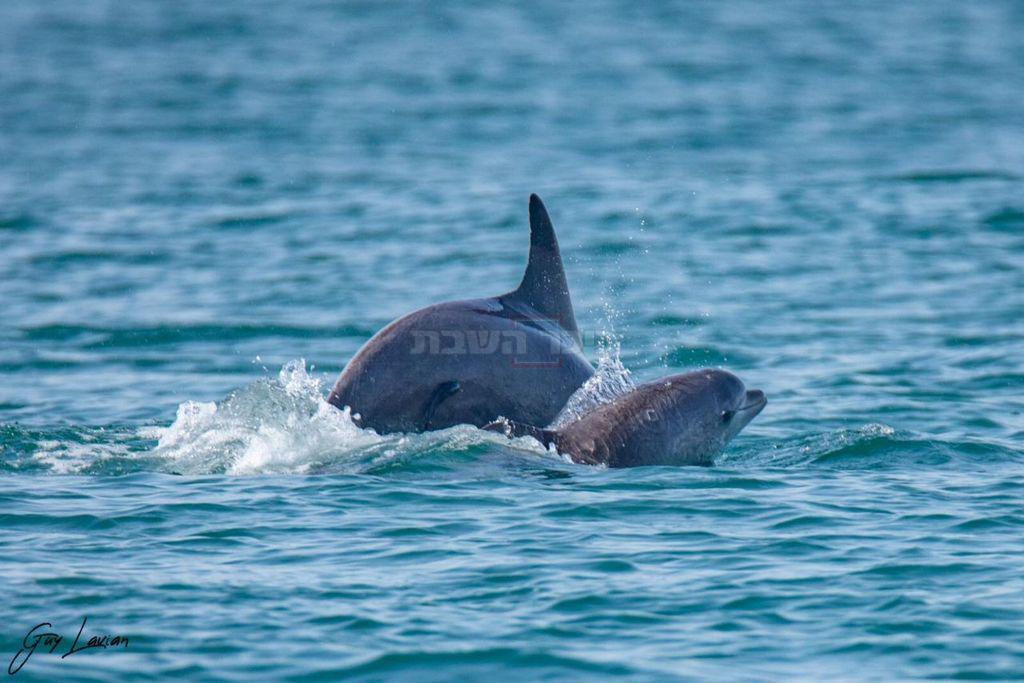 אתמול נצפה גור הדולפינים ליד אמו (צילום: גיא לויאן רשות הטבע והגנים)