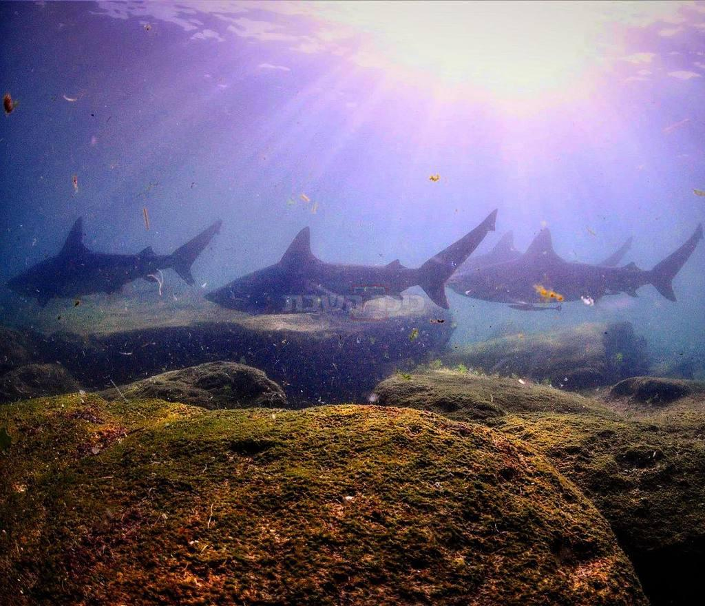 כרישים בחדרה (קרדיט צילום: רן גולן / Out Of The Blu )