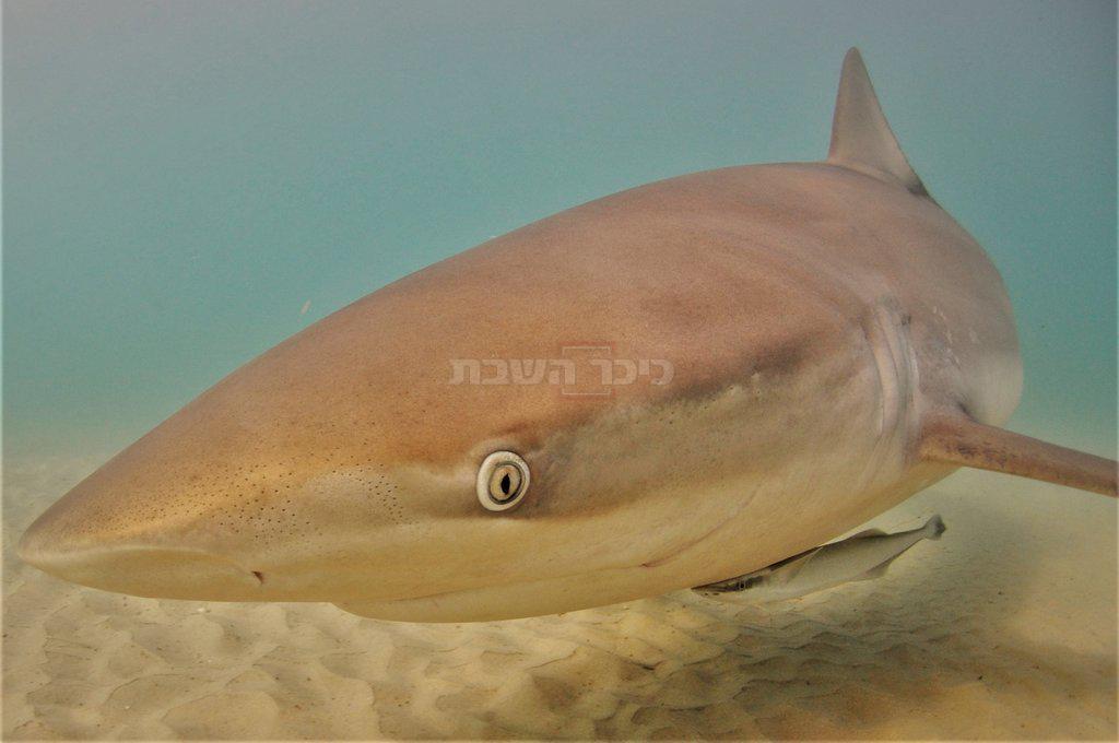 כריש עפרורי עם דג דבק (רמודה) צמוד אליו (קרדיט צילום: רן גולן / Out Of The Blu)