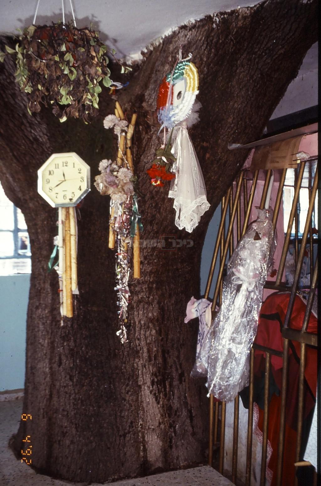 אלון תבור קדוש שגזעו בוקע מקבר שבואל (צילום: ד''ר צבי הר-שפר)