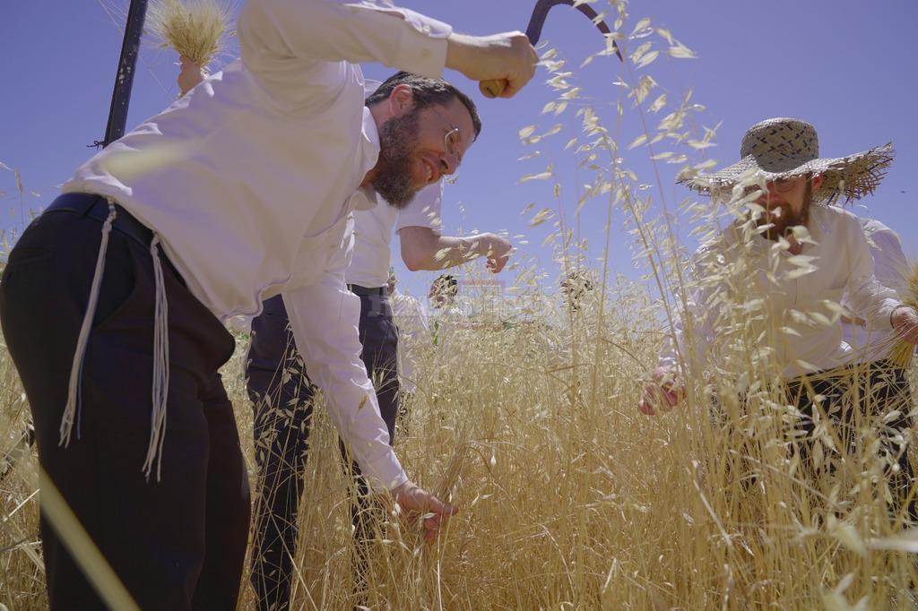 הרב אברהם צוויג בקצירת חיטים (צילום: ראובן בלינקי)