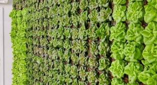 ירקות מהדרין הגדלים על קירות ייחודיים ללא חומרי הדברה
