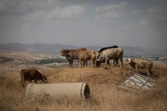 פרות ביישוב שדמות מחולה בבקעת הירדן