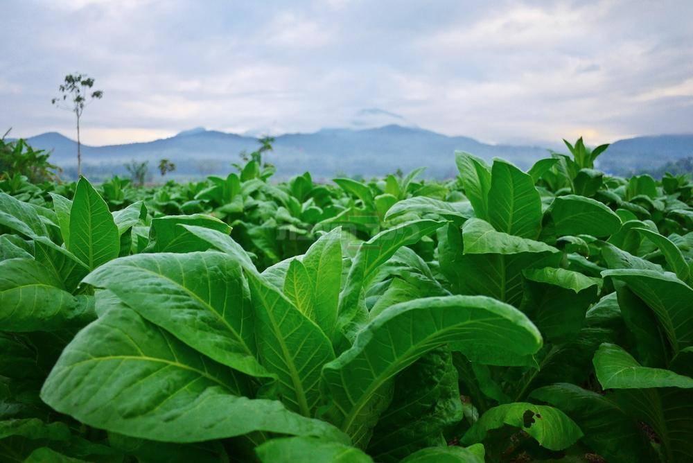 עיקר גידולו של הטבק הוא בקובה וניקרגואה (שאטרסטוק)