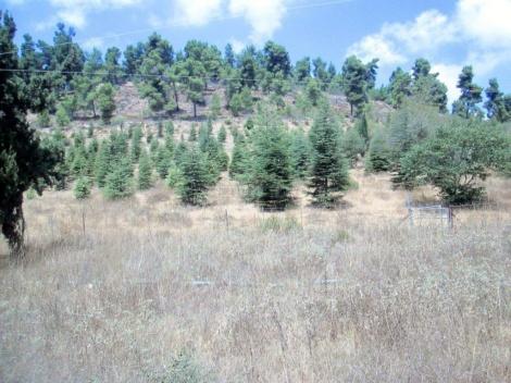 ביריה, יער הארזים