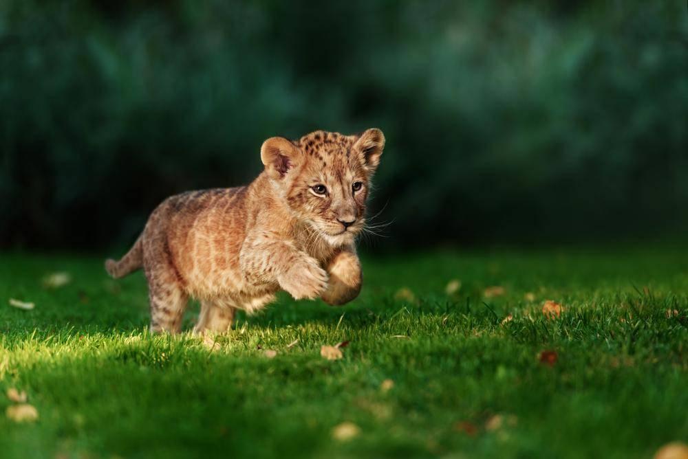 גורי האריות מסתכלים על הוריהם ולומדים. אילוסטרציה. צילום: שאטרסטוק