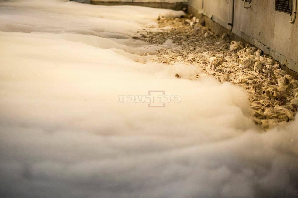 השמדת עופות (צילום: רועי שפרניק)