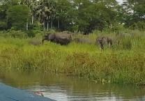 לויאליות, גרסת הפילים הגנו מפני תנין תוקפני