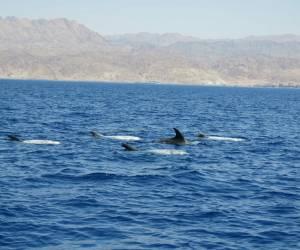תיעוד מפתיע: צפו: ארבעים דולפיני 'גרמפוס' במפרץ אילת