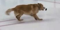 צפו הכלב התגלה כשחקן הוקי קרח מקצועי