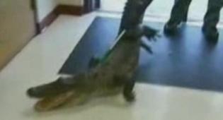 וידאו מדהים: תנין חדר אל בית-הספר
