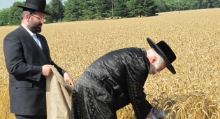 """תיעוד: האדמו""""ר מוויען קוצר חיטים"""