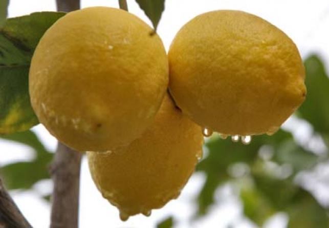 לימון (צילום: פלאש 90)