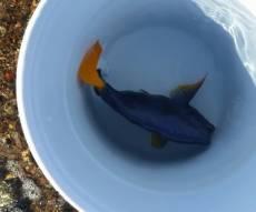 """דג """"נתחן סגול"""" שנמצא ברשות המורשע - 'אסף' אלמוגים ממפרץ אילת אל ביתו בביתר"""