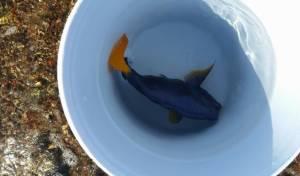 """דג """"נתחן סגול"""" שנמצא ברשות המורשע"""
