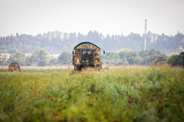 קטיף פלפלים בעמק יזרעאל