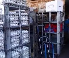 250 אלף ביצים נגועות נלקחו להשמדה. צפו