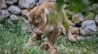 """2 גורי אריות אסייתים נולדו בגן חיות התנ""""כי"""
