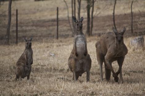 יותר מידי קנגורו? האוסטרלים יאכלו אותם