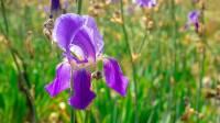 הפריחה האחרונה של אירוס ארם נהריים