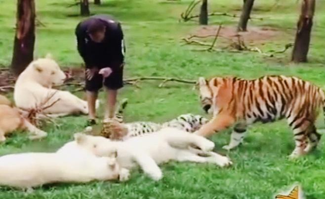 מדהים: נמר התנפל, טיגריס התערב והציל אדם