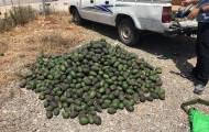 נתפסה חוליה שגנבה חצי טון של אבוקדו