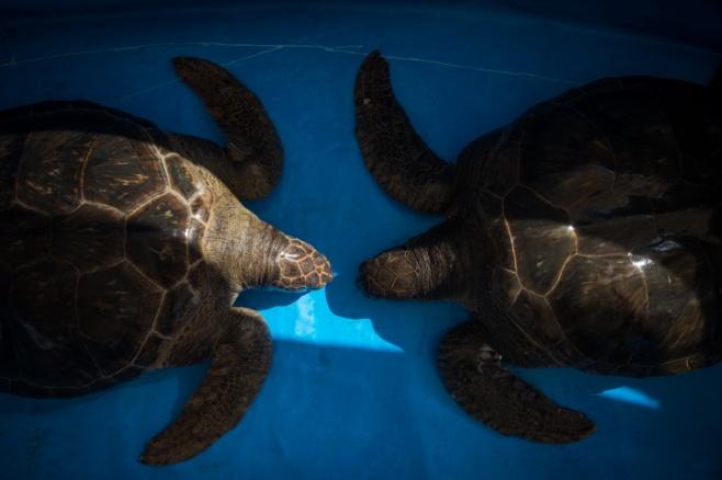 כאן מצילים צבי ים • צפו בתיעוד המצולם