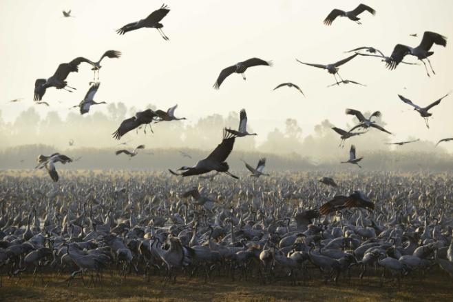 הציפורים נודדות: עמק החולה בתפארתו