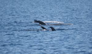 תיעוד נדיר ומרהיב של להקת דולפינים • צפו