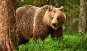 הפתרון היצירתי: כך הבריחו התושבים את הדובים