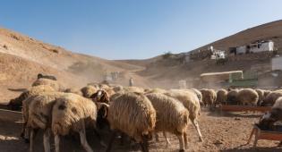 כבשים של מאהל בדואי במדבר יהודה, השבוע