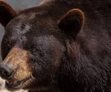 המשפחה צפתה בבוקר - והצטמררה - הילדים ישנו: דוב ענק הסתובב בבית. צפו