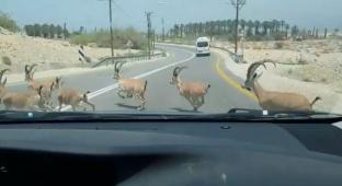 מיוחד: עדר תיישים חוצה את הכביש • צפו