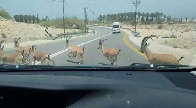 מיוחד: עדר יעלים חוצה את הכביש • צפו