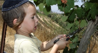 ילד בקטיף הענבים