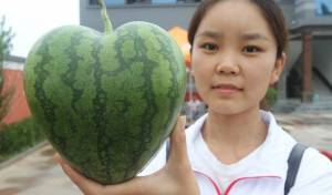 האבטיח התיירותי של הסינים - אבטיח לב