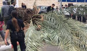 זירת הקריסה - עץ דקל קרס בבני ברק; גבר נפצע בינוני