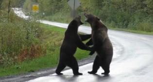 חסמו את הכביש: שני דובים נלחמים זה בזה