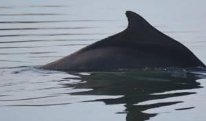 עוקבים בדאגה: גור הדולפין המגובנן - נעלם