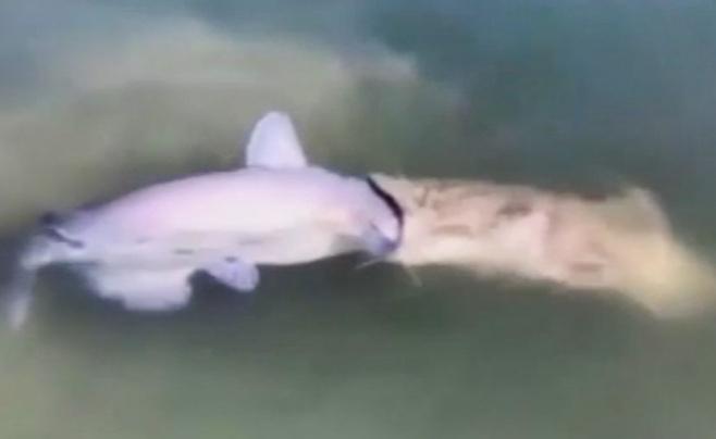 ויראלי ברשת: דגי השפמנונים ניסו לבלוע אחד את השני