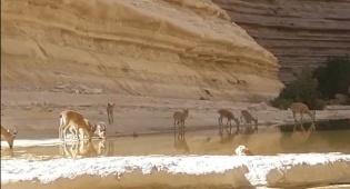 מחזה מרהיב: משפחת יעלים שותה מהנחל