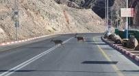 יעלים תועדו בכביש 90; צפו בתיעוד המיוחד