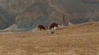 צפו: היעלים נוגחים אחד בשני על סף מצוק