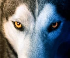 """אילוסטרציה - """"איש הזאבים"""" לא מצליח להתאושש"""