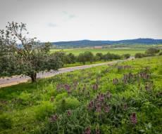 פריחה אביבית ליד בית שמש - התחזית: התקררות משמעותית, סיכוי לגשם