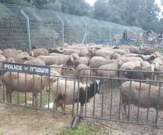 סוכלה גניבתם של 150 כבשים מכפר צבי