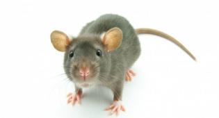אין כמעט אדם שלא סולד מעכברים