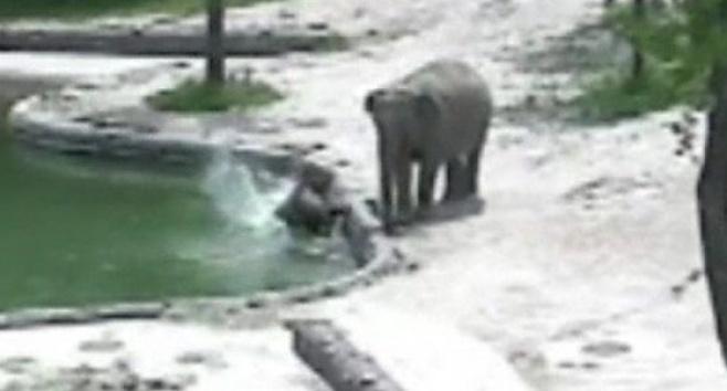 הפיל טבע, הוריו זינקו למים והצילו אותו. צפו
