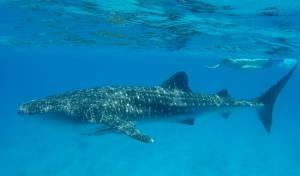 צפו בתיעוד: כריש לוויתן תועד במפרץ אילת