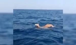 מגניב: הגמל שוחה בים להגיע למרעה • צפו